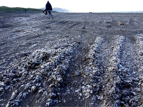drifts of velella