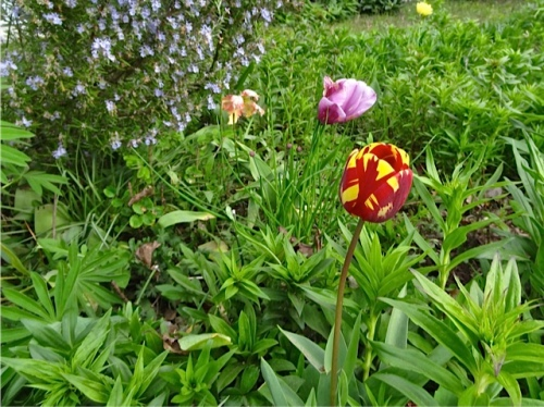 Allan's photo of a tulip in that quadrant