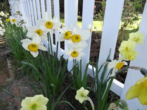 narcissi on the outside of the picket fence, still going strong