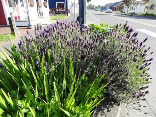 lavender already in full bloom