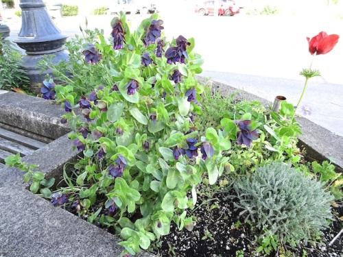 Cerinthe major purpurascens