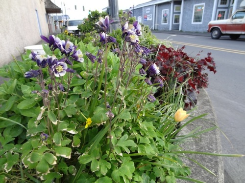 by the Elks lodge: a columbine left over from volunteer days