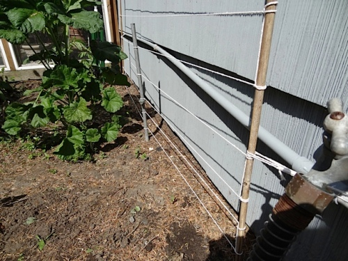 The sweet peas came up by the garage so Allan made a string trellis.