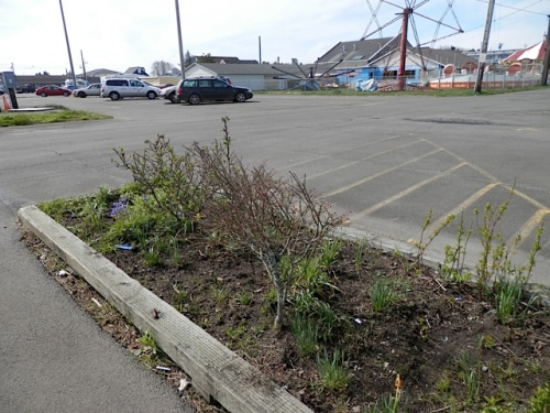 before:  Allan had weeded this area earlier this year to hack out some Himalayan blackberry.