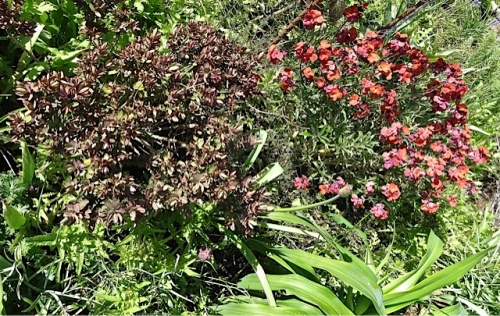 a Hebe next to Erysimum 'Winter Orchid' (right) that filled the air with fragrance.