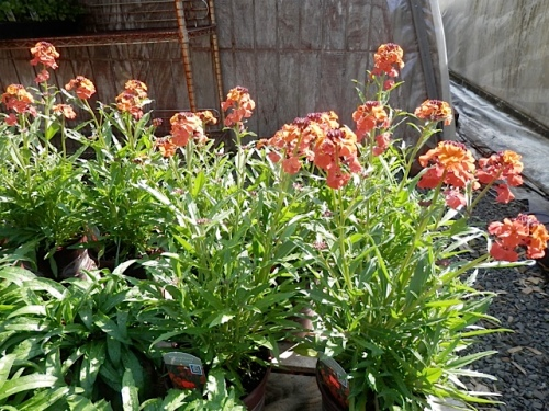 Erysimum, three kinds.  This is 'Apricot Twist'.  In front is 'Winter Orchid' which is stunning right now in my garden from one I planted last year.