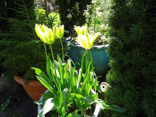 Tulip 'Formosa'