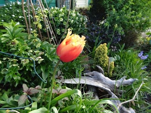 One fringed Tulip 'Aleppo' has returned from a planting a few years old.