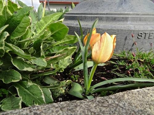 more 'Bright Gem' tulips