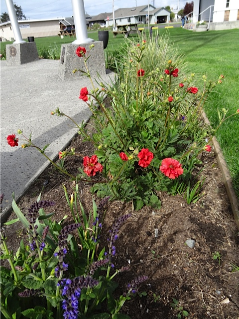 Geum and Salvia coming on