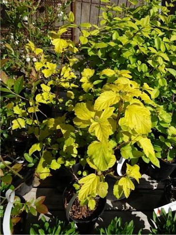 Physocarpus 'Dart's Gold'