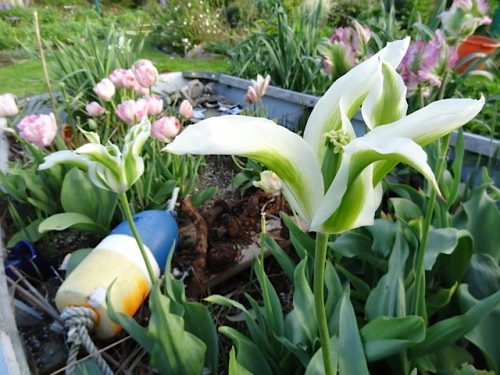Tulip 'Green Star'