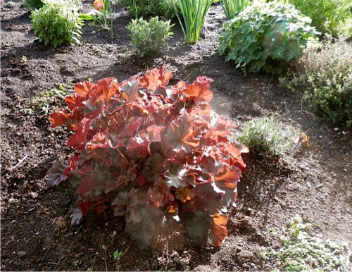 evening sun on one of Sondra's heucheras