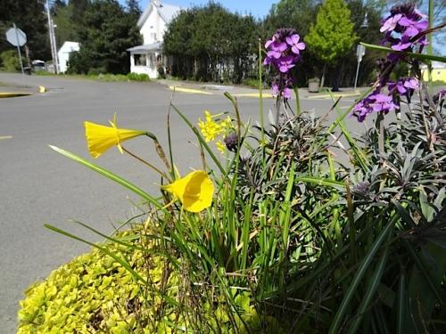 Narcissus bulbocodium 'Golden Bells' (Yellow Hoop Petticoats) in a planter.