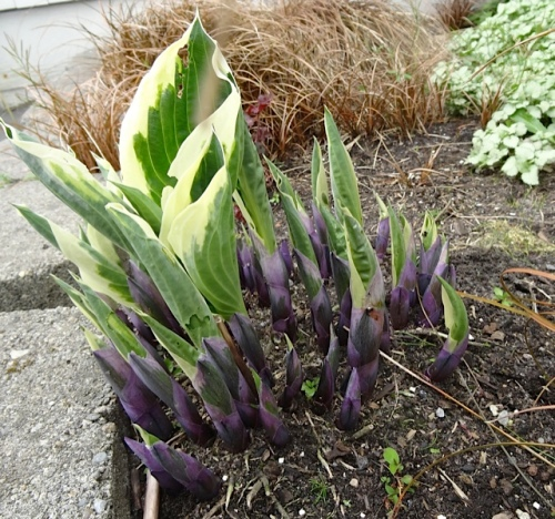 Deep purple bases on emerging hostas on the east side of city hall.