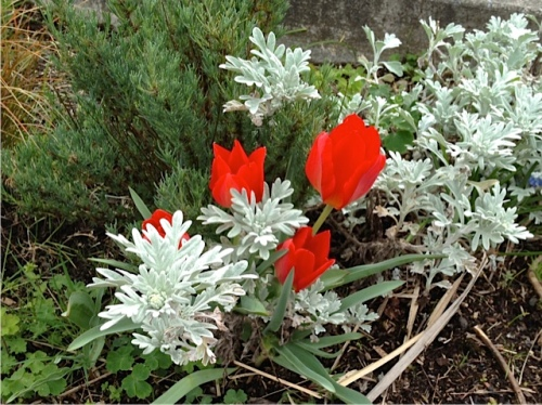 "Allan's photo: tulips and Artemisia...I forget the name of  this low one....""Silver Brocade' I think"