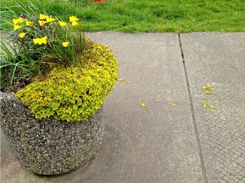 Allan deadheaded nearby planters and noticed someone had plucked and dropped some good narcissi flowers.  Fie!