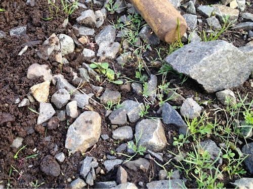 Allan's photo: lots of little California poppy seeds coming up