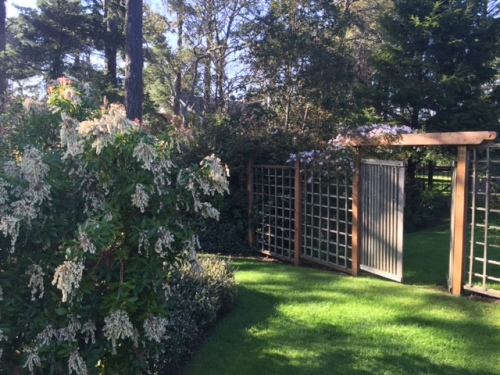 Pieris with the clematis arbour in background