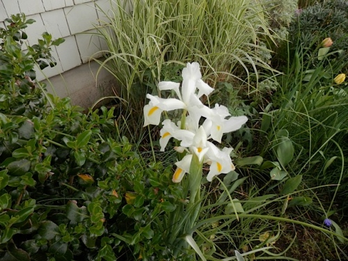 white Dutch Iris