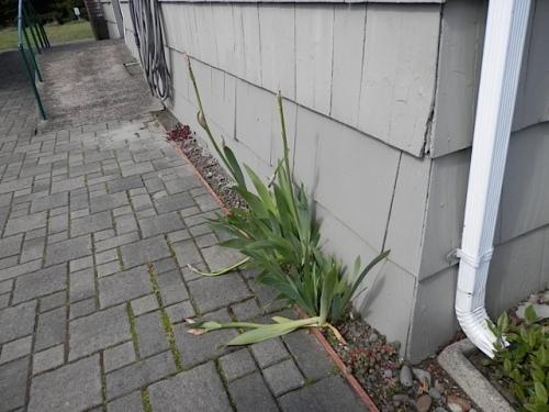 bearded iris broken before it could bloom