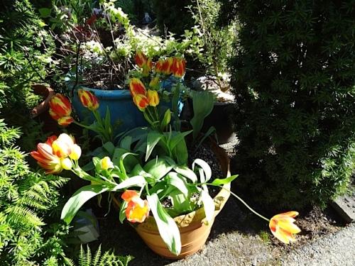 Tulip 'Florette'