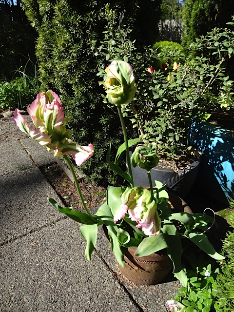 Tulip 'Green Wave'  (Allan says he finds parrot tulips confusing as he cannot tell if they are starting or finishing their bloom.)