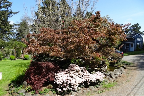 The pond garden has several rhododendrons large and small.