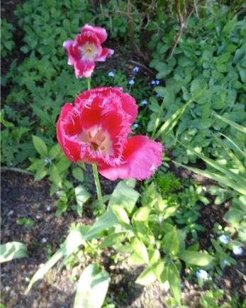 This fringed tulip has returned for several years.