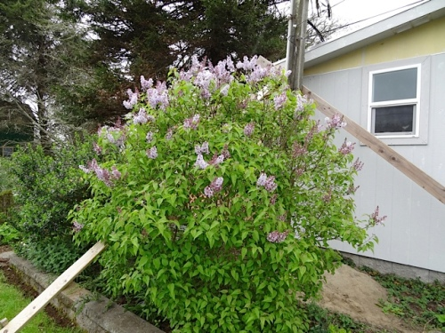 one of Mike's lilacs