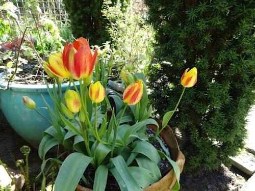 multi flowering tulip 'Florette'