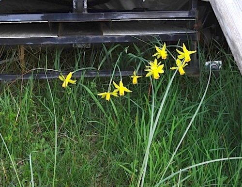 some stray narcissi in the long grass