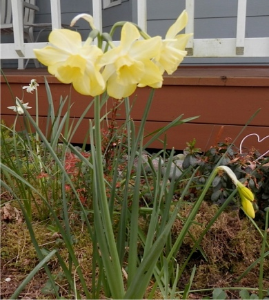 Narcissi by the front porch