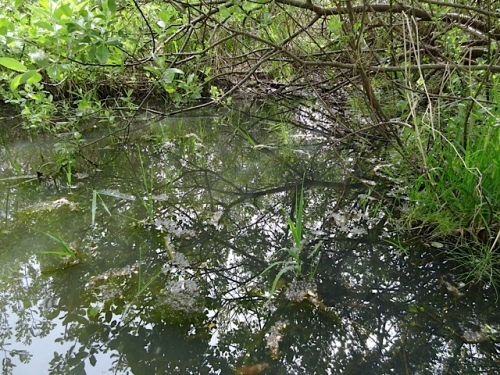 Still no tadpoles, even though I hear frogs here every evening.