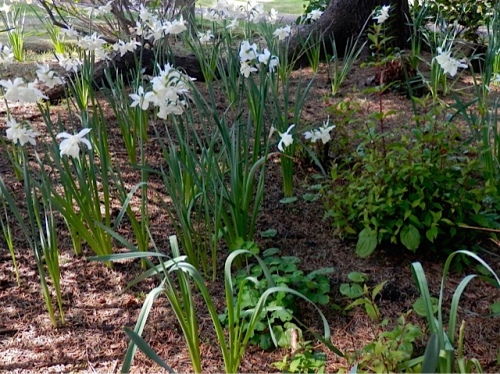 Narcissi in the A Frame garden (Allan's photo)