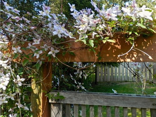 Clematis on a deer fence gate (Allan's photo)