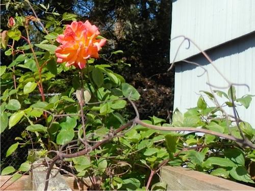 Joseph's Coat rose (Allan's photo)