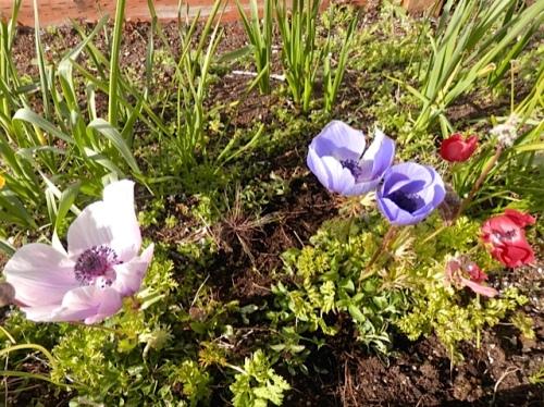 Payson Hall anemones, Allan's photo