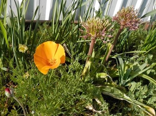 California poppy, and an Allium emerging (Allan's photo)