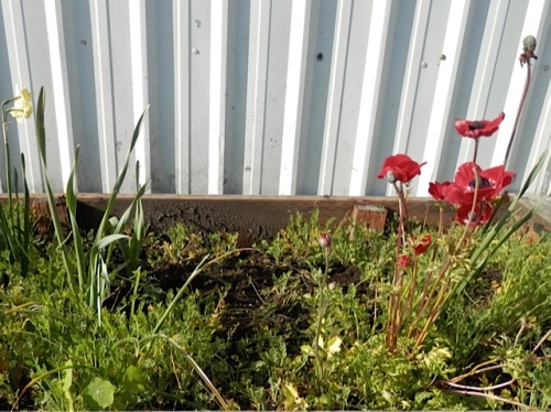 Zillions of poppies have reseeded.  They will have to make way for some annual plants later.  I see a nasturtium! (Allan's photo)