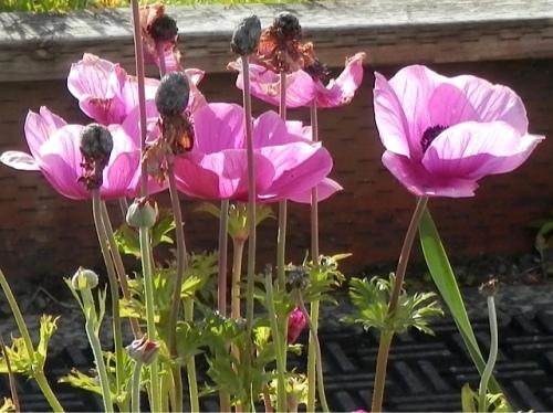 Allan's photo, anemones
