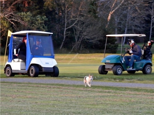 Late evening golfers and dogs