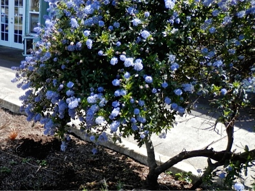 Ceanothus by the Loading Dock Village building (Allan's photo)