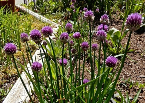 chives in flower (Allan's photo)