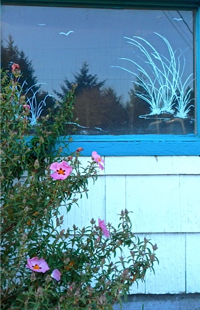 Cistus against the garden shed (Allan's photo)