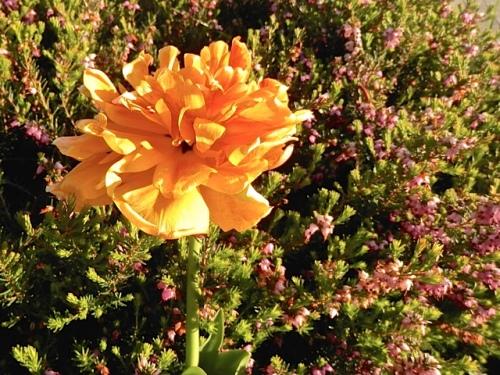 tulip in the entry garden (Allan's photo)