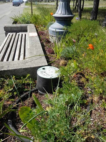 Allan's photo: one of the Sid Snyder planters with lots of California poppies coming on