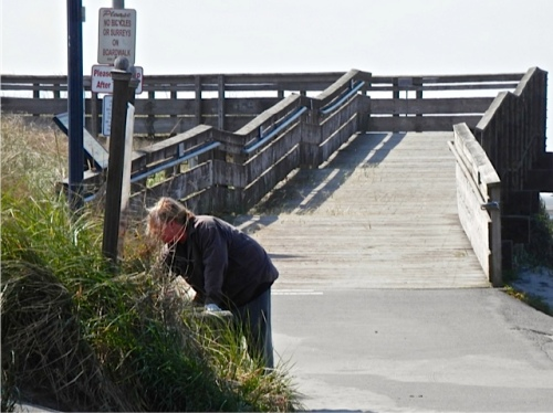weeding the westernmost planter on Bolstadt beach approach  (Allan's photo)