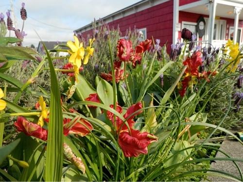 Tulip 'Rococo' (Allan's photo)