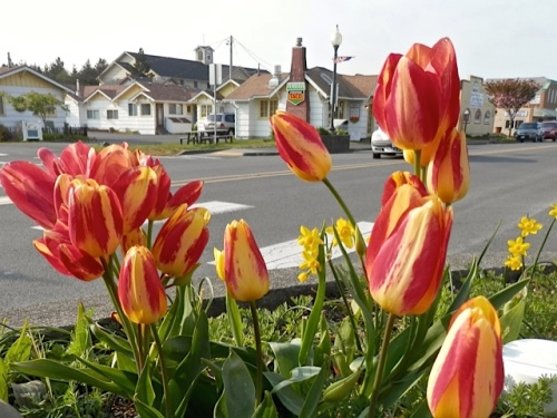 Tulip 'Florette' (Allan's photo)